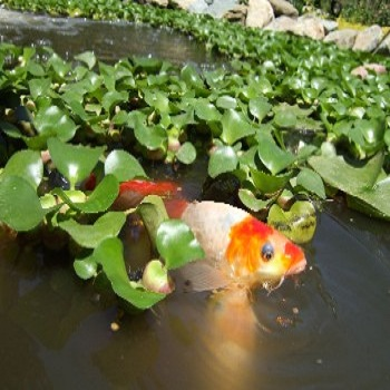 Fish Pond - Water Landscaping - Texas